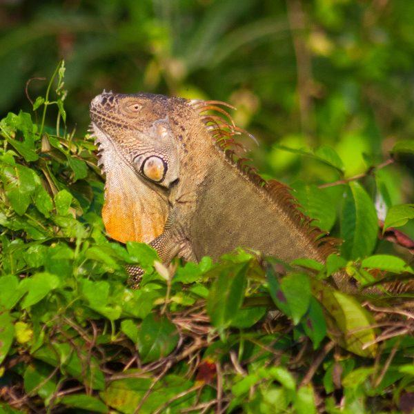 Iguana in Morning Sun - Costa Rica