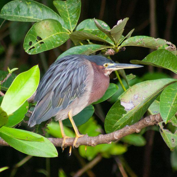 Heron in Costa Rica