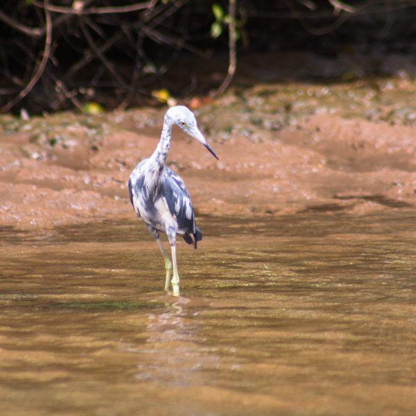 Juvenile Little Blue Heron in Costa Rica