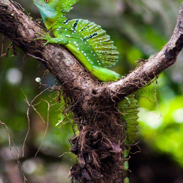 Jesus Lizard in Costa Rica