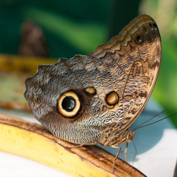 Blue Morpho Butterfly in Costa Rica