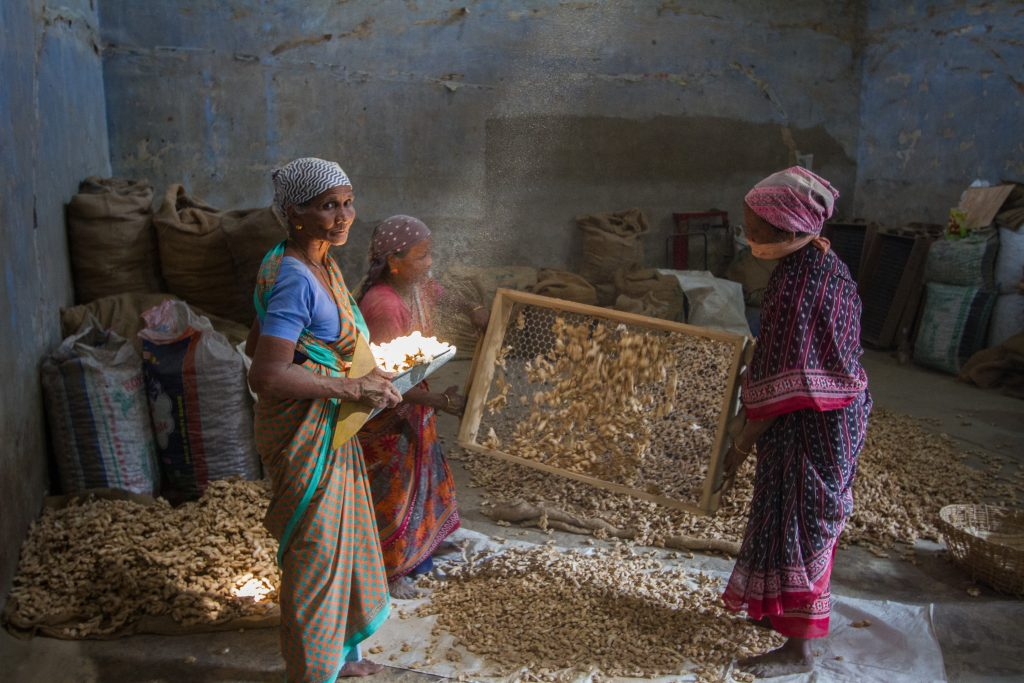 Women work sieving dried ginger, Fort Kochi, Kerala, India
