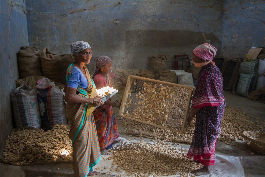 Women work sieving dried ginger, Fort Kochi, Kerala, India